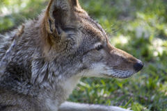 Red Wolf - Canis rufus Royalty Free Stock Photo