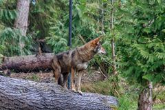Red Wolf looking around forest in spring. Red Wolf looking over its shoulder in spring Royalty Free Stock Photography
