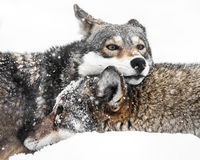 Red Wolf Pair in Snow Royalty Free Stock Image