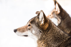 Red Wolf Pair in Snow II Stock Photography