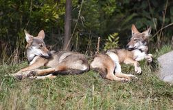 Red wolf pups. Just chillin Stock Image