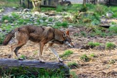Red Wolf running in forest royalty free stock photography