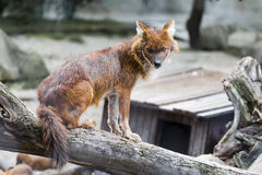 Red wolf. Sits on a fallen tree Royalty Free Stock Photos