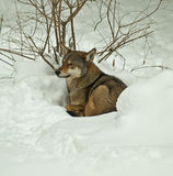 Red wolf in snow. Red wolf relaxing in the snow Stock Photos
