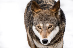 Red Wolf in Snow II Royalty Free Stock Photography