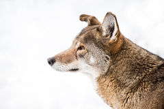 Red Wolf in Snow III Stock Photos