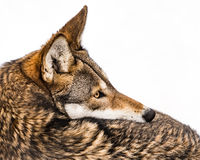 Red Wolf in Snow IX Stock Images