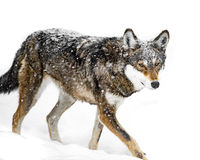 Red Wolf in Snow VII Stock Photos