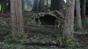 Red wolf walking around forest