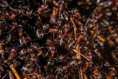Red Wood Ant Royalty Free Stock Photos