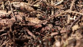 The red wood ant stock video