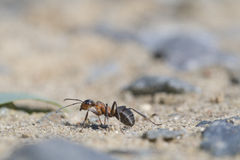 Red wood ant, Formica rufa Royalty Free Stock Photography