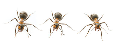 Red wood ant Formica rufa Royalty Free Stock Images