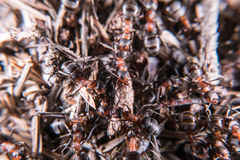 Red wood ant hill Royalty Free Stock Image