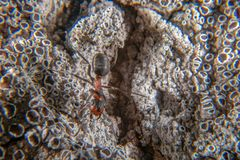 Red wood ant. On a tree with several lichen species stock photography