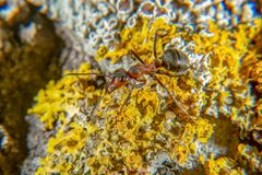 Red wood ant. On a tree with several lichen species stock image