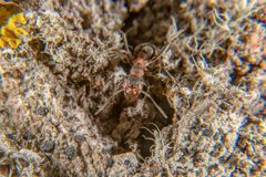 Red wood ant. On a tree with several lichen species stock images