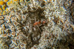 Red wood ant. On a tree with several lichen species royalty free stock photography