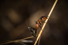 A red wood ant worker on a straw Royalty Free Stock Image