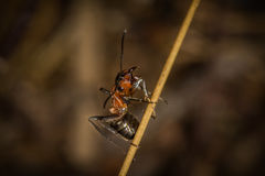 A red wood ant worker on a straw Stock Photo