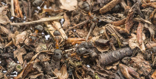 Red wood ants Formica rufa. Red wood ant & x28;Formica rufa& x29; close up - macro photography Royalty Free Stock Photo