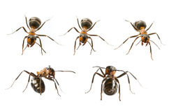 Red wood ants Formica rufa. Red wood ant & x28;Formica rufa& x29; close up - macro photography Stock Images