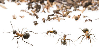 Red wood ants Formica rufa Royalty Free Stock Photography