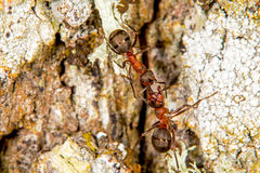 Red wood ants Stock Photography