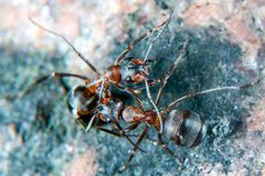 Wood Ant. Red Wood Ants Stock Image