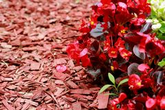 Red wood chips and Begonia semperflorens-cultorum. In rhe garden Royalty Free Stock Photography