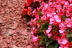 Red wood chips and Begonia semperflorens. Cultorum in rhe garden Royalty Free Stock Images
