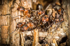 Red wood worker ants in spring building on their nest,  working Stock Photos