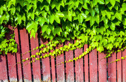 Red wooden wall with vine. Red wooden wall with green vine Stock Images