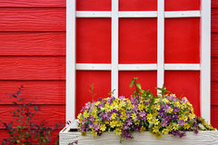 Red wooden wall with white window decorated with Geranium flowers. Fresh Royalty Free Stock Photography
