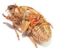 Red woodlouse spider and cicada shell Stock Photos