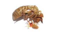 Red woodlouse spider and cicada shell Stock Photography