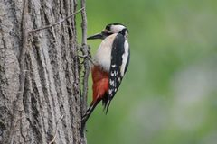 Red woodpecker Royalty Free Stock Image