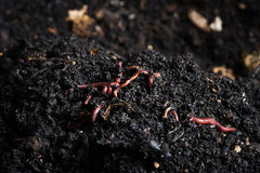 Red worms Royalty Free Stock Image