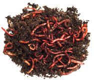 Red worms in compost. Bait for fishing Stock Image
