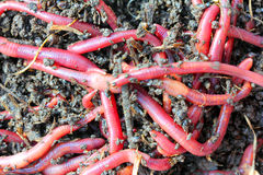 Red worms in compost Royalty Free Stock Photography
