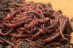 Red worms in compost Royalty Free Stock Images