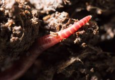 Red worms in compost. macro Stock Images
