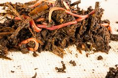 Red worms. Red worms in compost. Macro shot Royalty Free Stock Images