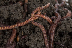 Red worms in compost. Stock Images