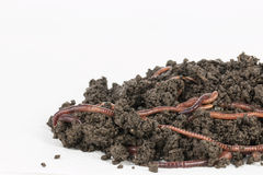 Red worms in compost. Royalty Free Stock Photo