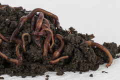 Red worms in compost. Stock Photos