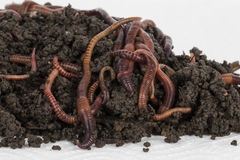 Red worms in compost. Royalty Free Stock Photos