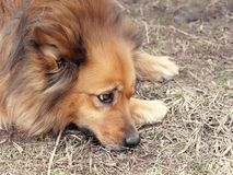 Red yard mongrel dog lies on the ground.  stock photo