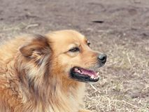 Red yard mongrel dog lies on the ground.  royalty free stock photo