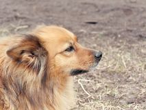 Red yard mongrel dog lies on the ground.  stock photography
